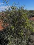 Bocksdorn Bluete lila Lycium ferocissimum08