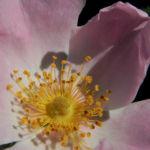 Bodendecker Rosen Bluete rosa Rosa nozomi 04