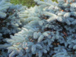 Borsten Fichte Bluete braun Picea asperata 25