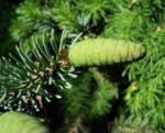 Borsten Fichte Zapfen gruen Picea asperata 05