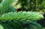 Borsten Fichte Zapfen gruen Picea asperata 06