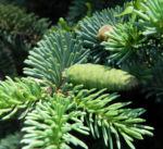 Borsten Fichte Zapfen gruen Picea asperata 07