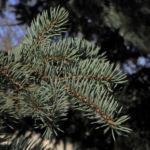 Bild:  Borsten-Fichte Nadel blaugrün Rinde braun Picea asperata