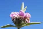 Brandkraut Strauchnessel Bluete rosa Phlomis purpurea 03