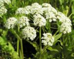 Breitblaettriger Merk Blueten Dolde weiss Sium latifolium 05