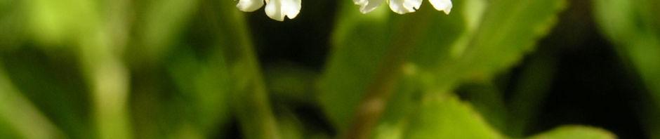 breitblaettriger-merk-blueten-dolde-weiss-sium-latifolium