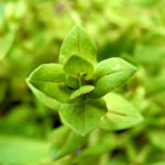 Breitblaettriges Vergissmeinnicht Blatt gruen Myosotis latifolia 02