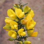 Bristly Bush Pea Strauch Bluete gelb Pultenaea acerosa 01