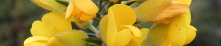 bristly-bush-pea-strauch-bluete-gelb-pultenaea-acerosa