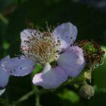 Brombeere Bluete Rubus fruticosus 02