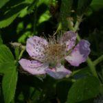 Brombeere Bluete Rubus fruticosus 03