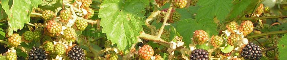 brombeere-frucht-rot-schwarz-rubus-fruticosus