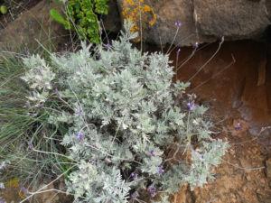 Buchs Lavendel Blatt silber gruen Lavandula buchii 02
