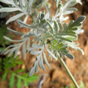Buchs Lavendel Blatt silber gruen Lavandula buchii 05