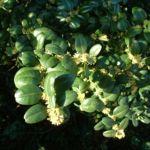 Buchsbaum Bluete Buxus sempervirens 11