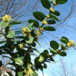 Buchsbaum Bluete Buxus sempervirens 12