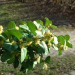 Buchsbaum Bluete Buxus sempervirens 13
