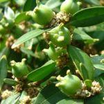 Buchsbaum Frucht Buxus sempervirens 01