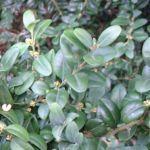 Buchsbaum Buxus sempervirens 03