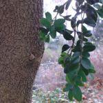 Buchsbaum Buxus sempervirens 04