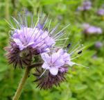 Bueschelschoen Bluete hellblau Phacelia tanacetifolia 03