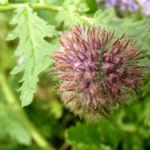 Bueschelschoen Bluete hellblau Phacelia tanacetifolia 06