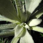 Bulgarien Koenigskerze Rosette gruen Verbascum delphicum 01