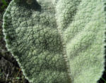 Bulgarien Konigskerze Rosette gruen Verbascum delphicum 02