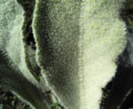 Bulgarien Konigskerze Rosette gruen Verbascum delphicum 04