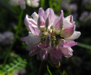 Bunte Kronwicke Bluete rose Coronilla varia 04