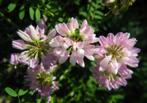 Bunte Kronwicke Bluete rose Coronilla varia 08