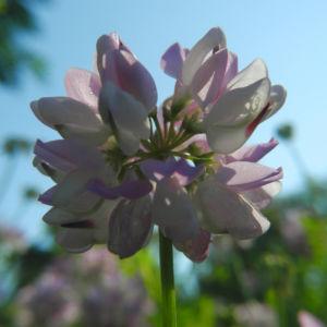 Bunte Kronwicke Bluete rose Coronilla varia 10