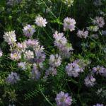 Bunte Kronwicke Bluete rose Coronilla varia 23