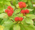Bunte Wolfsmilch Scheinbluete rot Euphorbia polychroma 04
