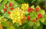Bunte Wolfsmilch Scheinbluete rot Euphorbia polychroma 07
