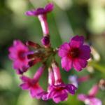 Burma Schluesselblume Bluete purpur Primula burmanica 02