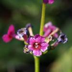 Burma Schluesselblume Bluete purpur Primula burmanica 04