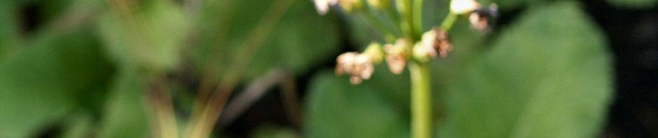 burma-schluesselblume-bluete-purpur-primula-burmanica