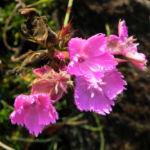 Busch Nelke Bluete pink Dianthus seguieri 01 1