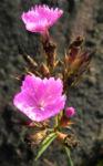 Busch Nelke Bluete pink Dianthus seguieri 02 1