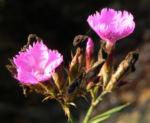 Busch Nelke Bluete pink Dianthus seguieri 03 1