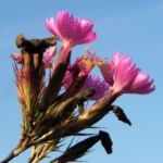Busch Nelke Bluete pink Dianthus seguieri 06