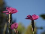 Busch Nelke Bluete pink Dianthus seguieri 07