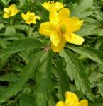 Buschwindroeschen Bluete gelb Anemone ranunculoides 05