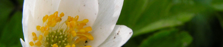 buschwindroeschen-bluete-weiss-anemone-nemorosa