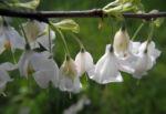 Carolina Maigloeckchenbaum Bluete weiß Halesia carolina 15
