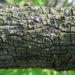 Zurück zum kompletten Bilderset Carolina Maiglöckchenbaum Blüte weiß Halesia carolina