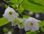 Carolina Schneegloeckchenbaum Bluete weiss Halesia carolina 13
