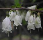 Carolina Schneegloeckchenbaum Bluete weiss Halesia carolina 14