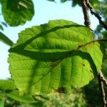 Chinesische Haselnuss Corylus chinensis 03